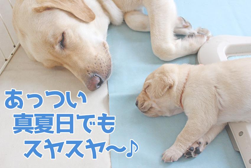 夏の暑い日にすやすや寝ている犬の親子の画像