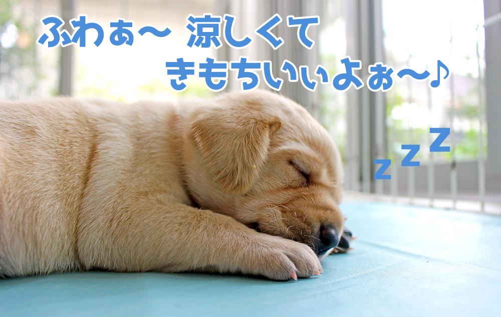 犬が涼しい部屋でスヤスヤ寝ている画像
